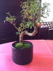 Trademark Bonsai Tree
